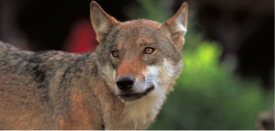 Italian Wolf | Abruzzo National Park | Gran Sasso | majella national park