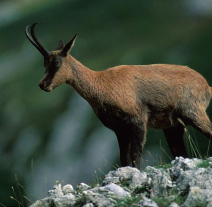 Abruzzo Chamois | Abruzzo National Park | Gran Sasso | majella national park